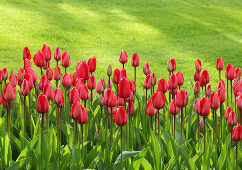 tulips500x350
